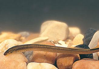 lampreia quercus
