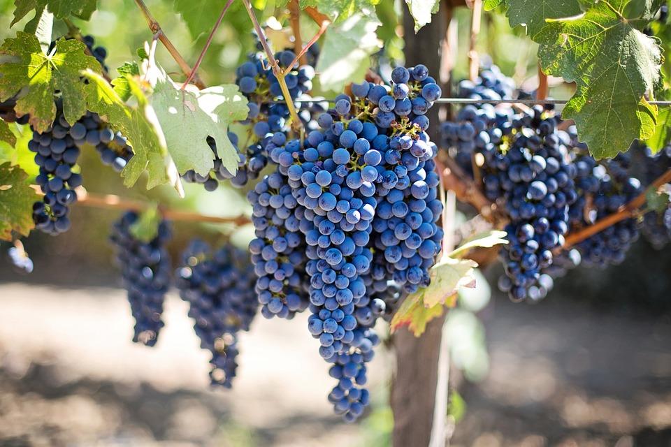 purple grapes 553464 960 720