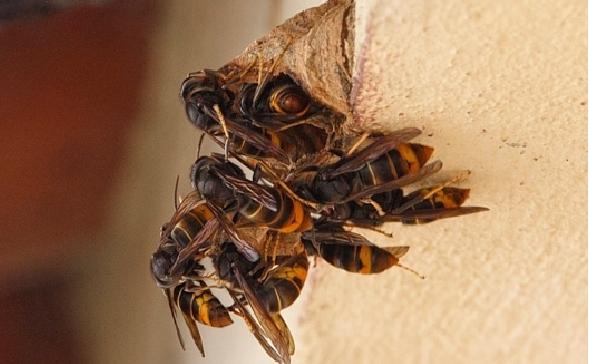 vespa asiatica 01
